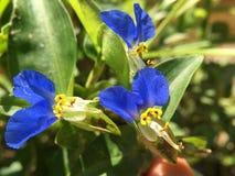 Dayflowers asiáticos Imagem de Stock