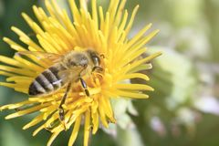 Free Daylight. Bee Closeup On Dandelion. Have Toning. Shallow Depth Of Cut Royalty Free Stock Photos - 146489178