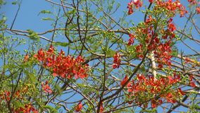 A Caesalpinia tree blooming with red fiery flowers. A daylight closeup shot of a fiery Caesalpinia tree with bright, vivid red flowers and leafy branches against stock video footage