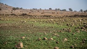 Golan Heights Cows royalty free stock photos