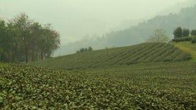Layers of tea bushes of a foggy plantation farm