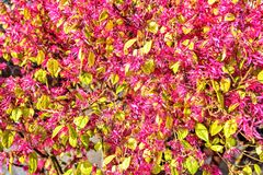 Daylight view to bright purple spring flowers with green leaves. Venice, Italy Royalty Free Stock Photo