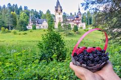 Daylight view to woman hands holding basket with blackberries an. D raspberries fruits. Peles castle front side with tower on background. Green vegetation with Royalty Free Stock Photos
