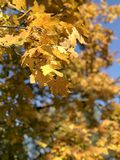 Daylight view to yellow autumn leaves on sky background Royalty Free Stock Photography