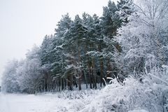 Daylight Winter Landscape with Snowy Forest. And drifts. Cold weather royalty free stock photo