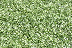 Daylight wither of tea leaves. Stock Photos