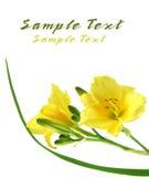 daylilies黄色 库存照片