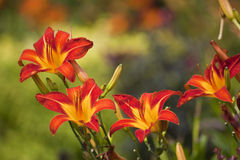Daylilies Royalty Free Stock Images