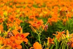 Daylilies Royalty-vrije Stock Afbeeldingen