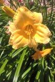 Daylilies Imagenes de archivo