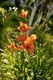 Daylilies anaranjados rojos, Hemerocallis en el jardín fotos de archivo