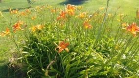 Daylilies royaltyfri fotografi