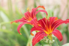 Daylilies Stock Images