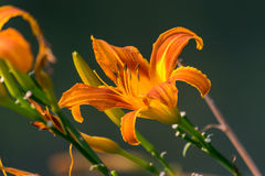 The daylilies Royalty Free Stock Image