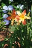 Daylilies bicolores en la plena floración en un día de verano hermoso Fotos de archivo