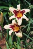Daylilies bicolores en la plena floración en un día de verano hermoso Imagen de archivo