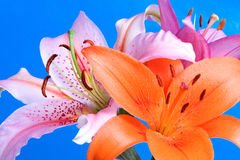 Daylilies on Blue Stock Photos