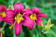 Daylilies d'été image libre de droits
