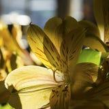 Daylilies dans le soleil et l'ombre photos libres de droits
