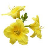Daylilies Flower Royalty Free Stock Photos