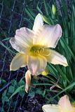 Daylilies. This gorgeous daylily is called Ben Arthur Davis. It`s showy flowers are a yellow, cream blend with orchid blushing. It blooms midseason growing up to Stock Images