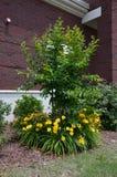 Daylilies (Hemerocallis lilioasphodelus) Stockfotos