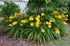 Daylilies (Hemerocallis lilioasphodelus) Stock Image