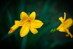 Daylilies jaune Images libres de droits