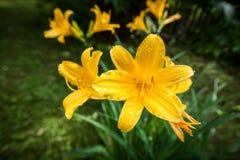 Daylilies jaune Images stock