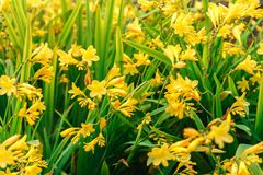 Daylilies jaunes de floraison, Hemerocallis, dans le jardin d'été, foyer sélectif photo libre de droits