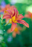 Daylilies oranges Photographie stock libre de droits