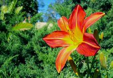 Orange color Daylily. Daylilies are perennial plants, whose name alludes to the flowers which typically last no more than 24 hours about a day or so. The flowers royalty free stock images