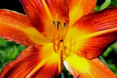 Orange color Daylily flowers. Daylilies are perennial plants, whose name alludes to the flowers which typically last no more than 24 hours about a day or so. The royalty free stock photos