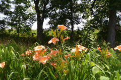 Daylilies in Sun Wide-Angle View. Daylily scene with forest background Royalty Free Stock Photography