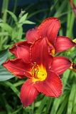 Daylilies vermelho Imagens de Stock Royalty Free