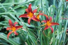 Daylilies w ogródzie Obraz Stock