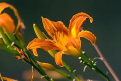 Dayliliesna Royaltyfri Bild