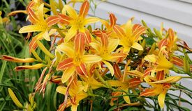 Daylillies amarelo e alaranjado lindo Fotografia de Stock Royalty Free