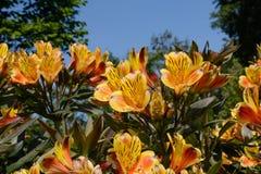 Daylillies, amarillo y naranja con el fondo del cielo azul Fotografía de archivo