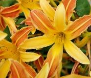 Daylillies giallo ed arancio splendido Fotografia Stock Libera da Diritti