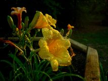 Daylilly. Fading daylilies in evening light covered in water drops Royalty Free Stock Photography