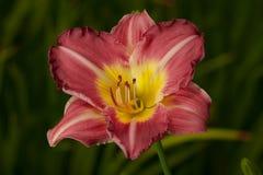 Daylilly rouge et jaune (Hemerocallis) Photos stock