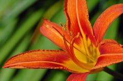 daylily桔子 免版税库存图片