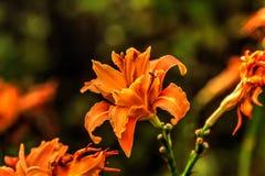 daylily κόκκινο Καλλιεργημένο λουλούδι Στοκ Φωτογραφίες