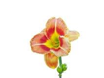 Daylily изолированный на белой предпосылке Стоковые Фото