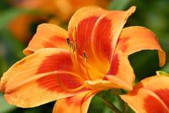 daylily неистово стоковые изображения rf