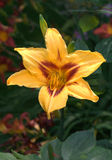 Daylily. Hemerocallis daylily front and centre in perennial garden royalty free stock image