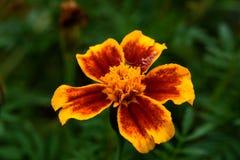 Daylily Стоковая Фотография RF