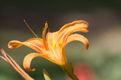 Daylily Royalty Free Stock Image