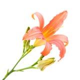 Daylily. Orange daylily isolated on white background, square crop Stock Image
